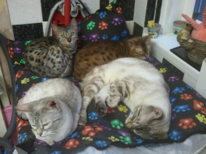 Bengal Cat Family