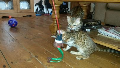 Gypsy's litter of Bengal's, 2 Stunning Rosetted little girls